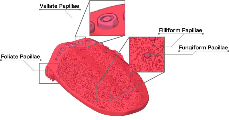Foliate Papillae Diagram - Block And Schematic Diagrams •