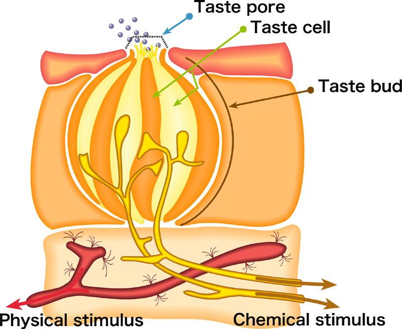 Taste Bud Structure